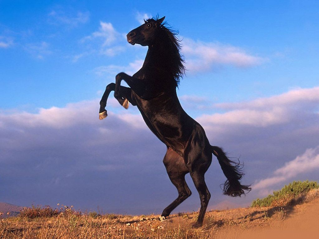black a horse has - photo #3