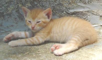 Godwin kittens - next youngest litter4